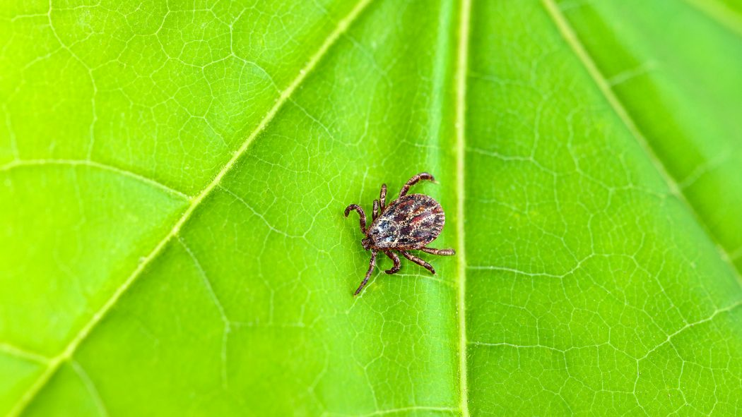 Lyme-bug-in-leaf