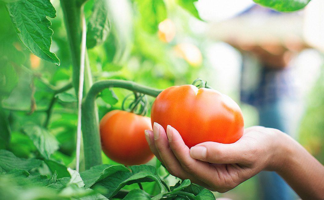 Woman grabbing a tomatoes